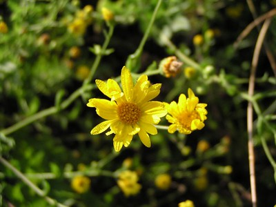 Golden Aster - Baytown Nature Center, Baytown, TX