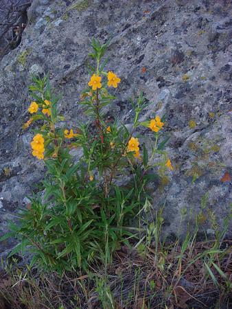 Wildflowers - Shell Ridge near Rockspring