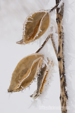 105174-Milkweed
