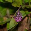Virginia Bluebells buds