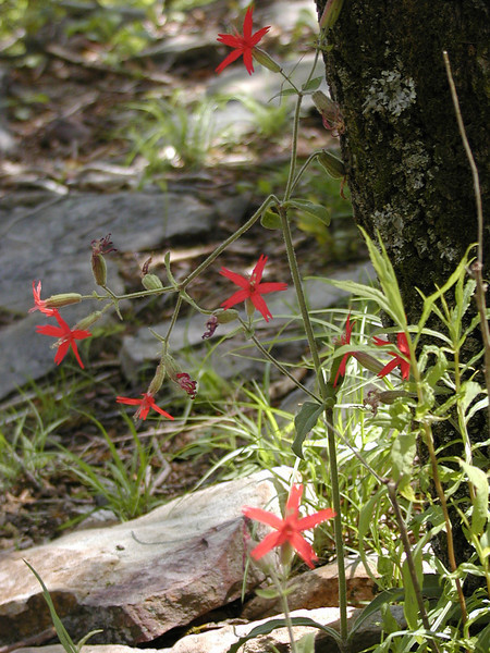 Lots of fire pinks along the Cumberland trail today<br /> Brady Mtn TN