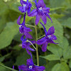 Amidst the other flowers Dwarf Larkspur was all over the place! I saw it on Hinch Mtn and Brady Mountain. It is eye catching.