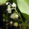 Delicate beauty of American Lily of the Valley blooming along the Cumberland Trail<br /> Brady Mtn. TN