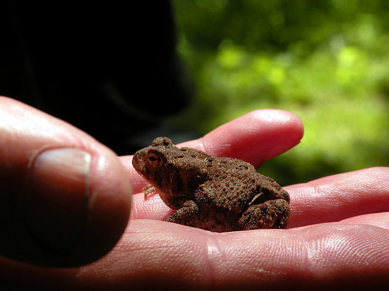 A toad in the hand.... will give you warts! <br /> I touched him anyway. Working on that fear of frogs thing.<br /> He is cute. <br /> Devil Step Hollow. TN