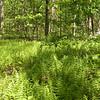 Fern grove along the Cumberland Trail<br /> Brady Mtn TN
