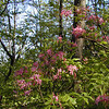 Saw lots and lots of Pinkster azaleas today along the CT<br /> Brady MTN TN