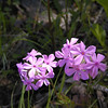 Phlox growing along Jewett Road on the way to Brady Mountain