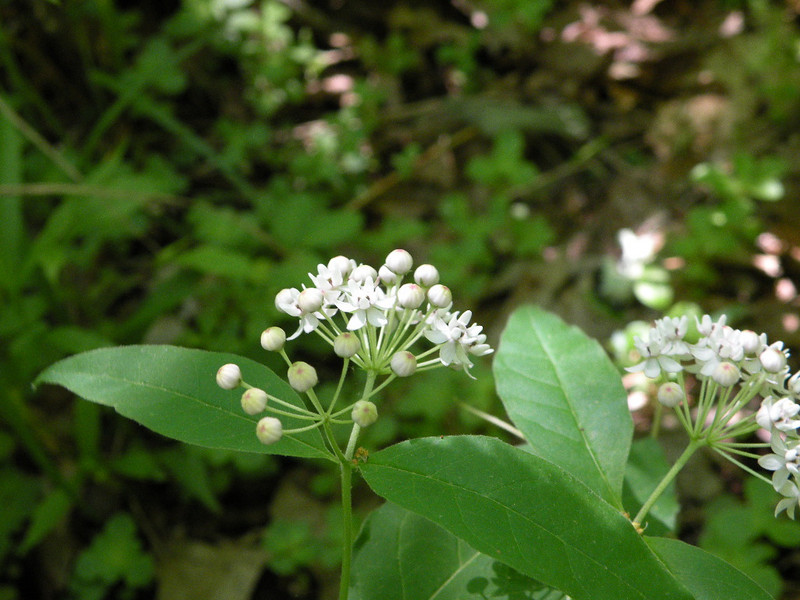 Fourleaf Milkweed<br /> Devil Step Hollow