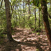 Piney woods in the Cumberlands<br /> Section of the Cumberland Trail atop Brady Mtn. TN