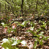 Huge patch of Pink Lady Slippers on Brady Mountain along the Cumberland Trail<br /> TN