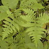 Ferns along Jewett Road <br /> Hinch Mtn. TN