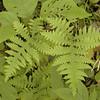 Ferns along Jewett Road <br /> Hinch Mtn. TN