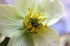Close up of yellow anemone