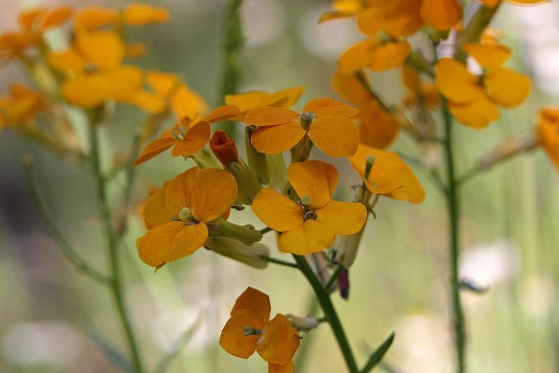 Wallflower (Erysimum capitatum)