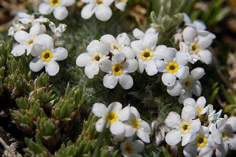 White Alpine Forget-me-nots (Myosotis alpina)