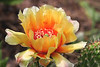 Fragile Prickley Pear Cactus Flower (Opuntia fragilis)