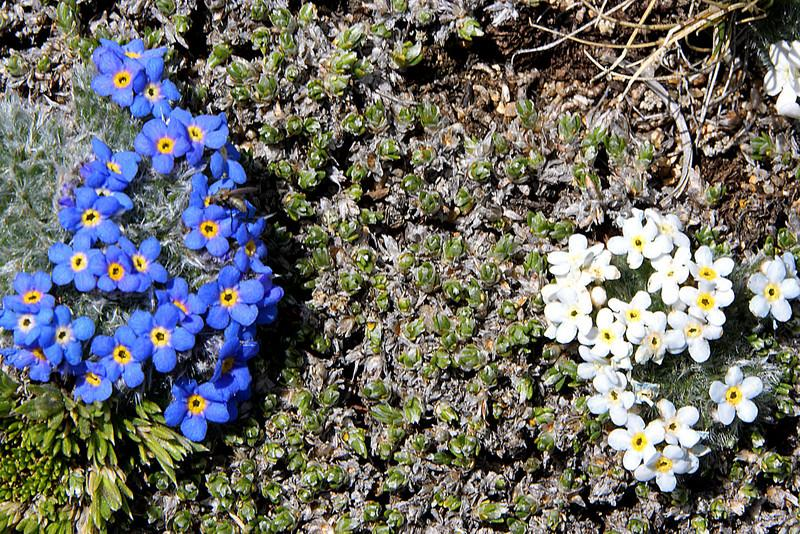 Blue and White Alpine Forget-me-nots (Myosotis alpina)