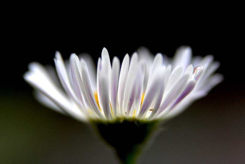 Spreading Fleabane (Erigeron divergens).  I love the natural lighting on this flower.