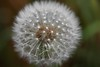 Dandelions are everywhere - even close to treeline in CO!