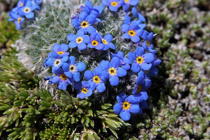 Blue Alpine Forget-me-nots (Myosotis alpina)