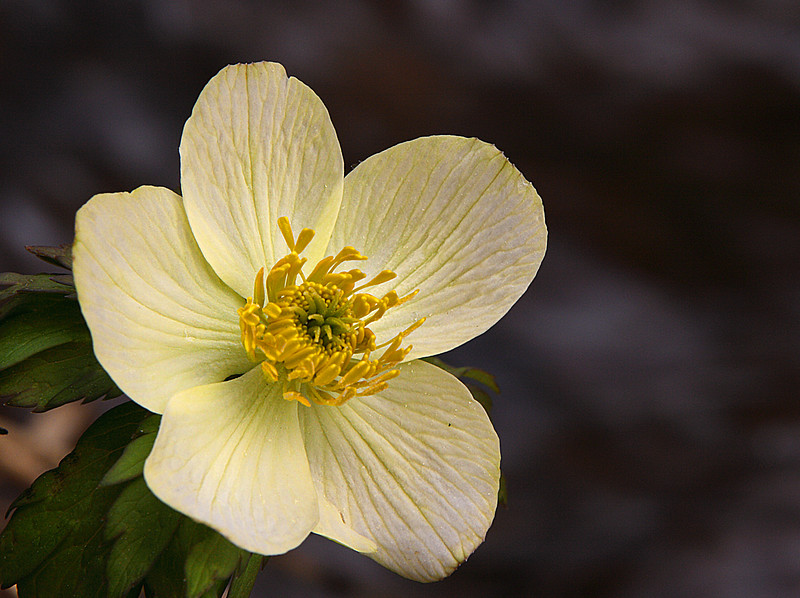 Yellow Anemone by the stream