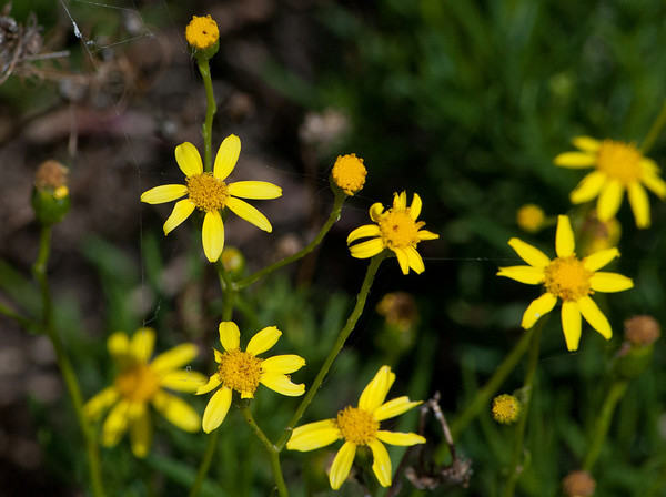 Plants of the Wimmera and Mallee