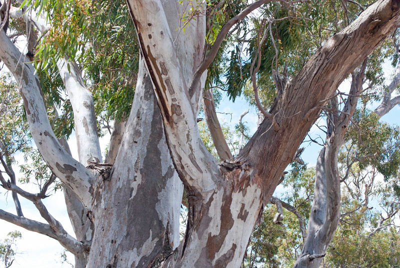 River Red Gum<br /> These trees like to drop branches on campers and unwary tourists from time to time.  -Splat-