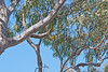 Spot the Parrot Challenge!<br /> How many Regent Parrots can you find in this tree?