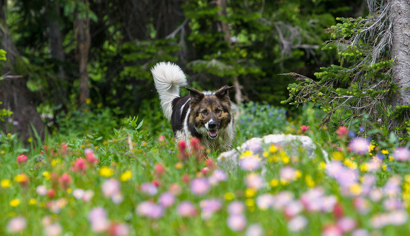 Young Pup Dog running through wildflowers
