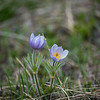 Beautiful Pasqueflower near Hell Roaring Creek (Buttercup Family). Posionious to eat but when dried out Native Americans used them for medicinal purposes.