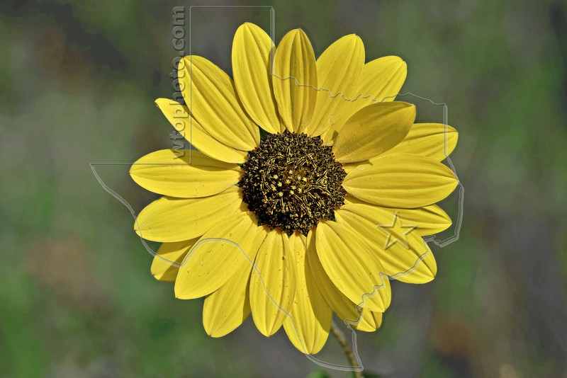 Simpson Rosinweed (silphium simpsonii),<br /> Nordheim, DeWitt County, Texas