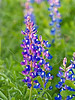 Texas Bluebonnet in Sunset Light (lupinus texensis)<br /> Nordheim, DeWitt County, Texas