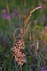 Scarlet Gaura (gaura coccinea),<br /> Nordheim, DeWitt County, Texas