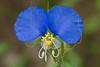 White-mouth Dayflower(Commelina erecta),<br /> Brazos Bend State Park, Texas