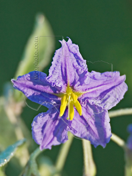 Silver-leaf Nightshade,<br /> Brazoria National Wildlife Refuge, Texas
