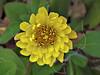 Texas Dandelion (pyrrhopappus multicaulis),<br /> Nordheim, Texas