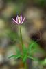 Ten-petal Anemone (anenome heterophylla),<br /> Nordheim, DeWitt County, Texas