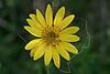 Maximilian Sunflower (helianthus maximiliani),<br /> Nordheim, DeWitt County, Texas