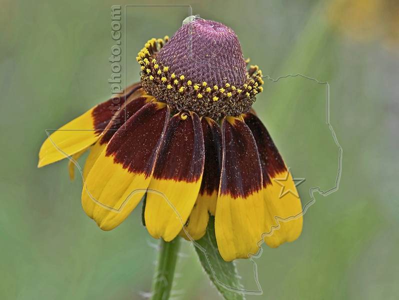 Clasping-leaf Coneflower (dracopis amplexicaulis),<br /> Nordheim, Texas