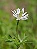 Ten-petal Anemone (anemone heterophylla),<br /> Nordheim, DeWitt County, Texas