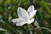 Drummond (or Evening Star) Rain-Lily(cooperia drummondii),<br /> Nordheim, DeWitt County, Texas