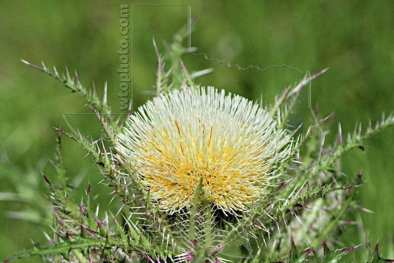 Bull Thistle,<br /> Brazos Bend Park, Texas