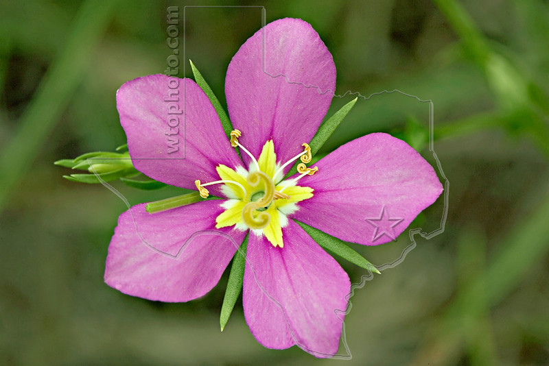 Meadow Pink, Texas Star, sabatia campestris<br /> Nordheim, Texas