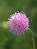 Powderpuff (mimosa strigillosa),<br /> Nordheim, DeWitt County, Texas