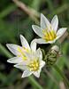 False Garlic (northoscordum bivalve),<br /> Nordheim, DeWitt County, Texas