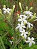 Bull Nettle (cnidoscolus texanus),<br /> Nordheim, DeWitt County, Texas