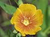 Berlandier's Flax (linum berlandieri),<br /> Nordheim, DeWitt County, Texas