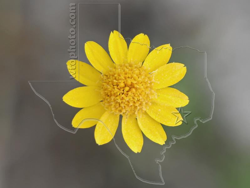 Creeping Spot-Flower (Acmella oppositifolia var. repens)<br /> Nordheim, Texas