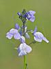 Texas Toadflax (nuttallanthus texanus),<br /> Nordheim, DeWitt County, Texas