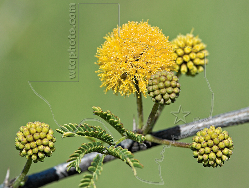 Huisache Bloom,<br /> Brazos Bend State Park, Texas